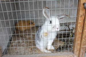 Cuy (guinea pig) - looks really cute